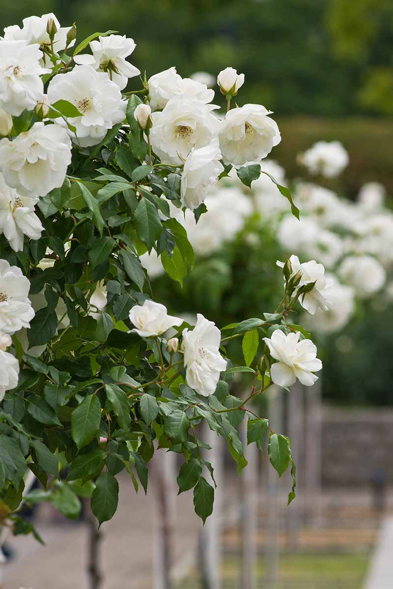 A close up vertical image of a line of white tree roses growing in the garden pictured on a soft focus background.