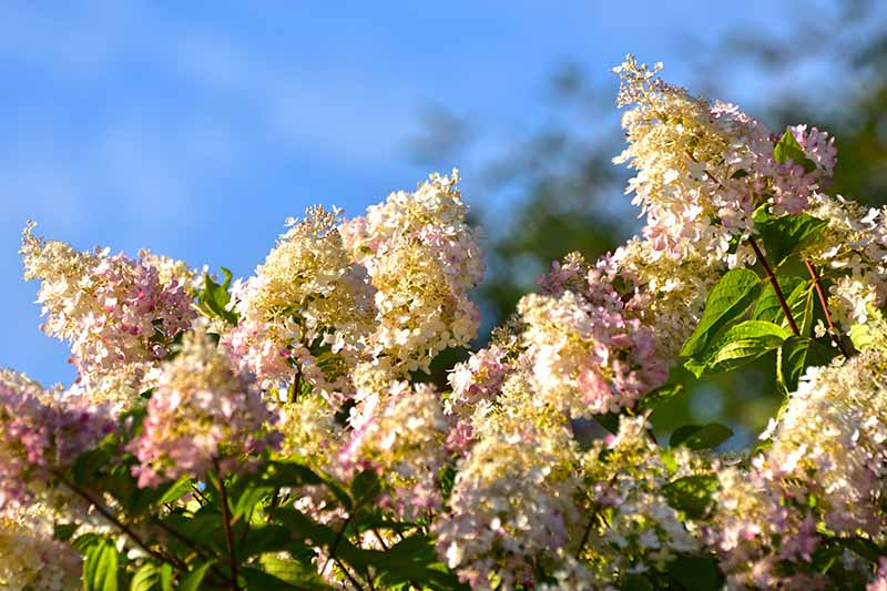 A close up horizontal image of the delicate pink and white panicle hydrangea flowers growing in a sunny garden pictured on a blue sky background.