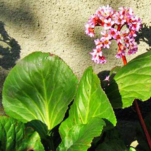 A close up square image of heartleaf bergenia growing in a border by a wall.