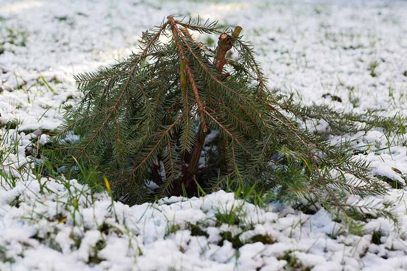 A close up horizontal image of spruce branches used to cover tender plants in the winter with a snowy lawn in the background.