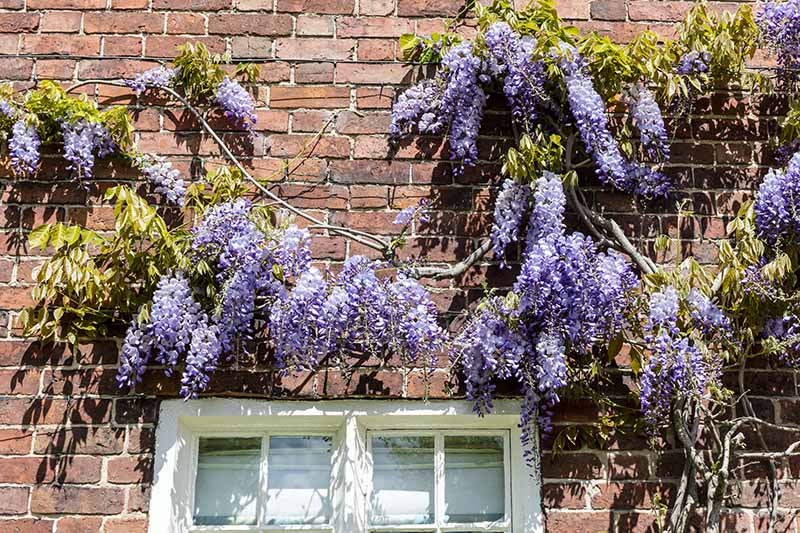A close up horizontal image of purple wisteria growing on the outside of a brick home.