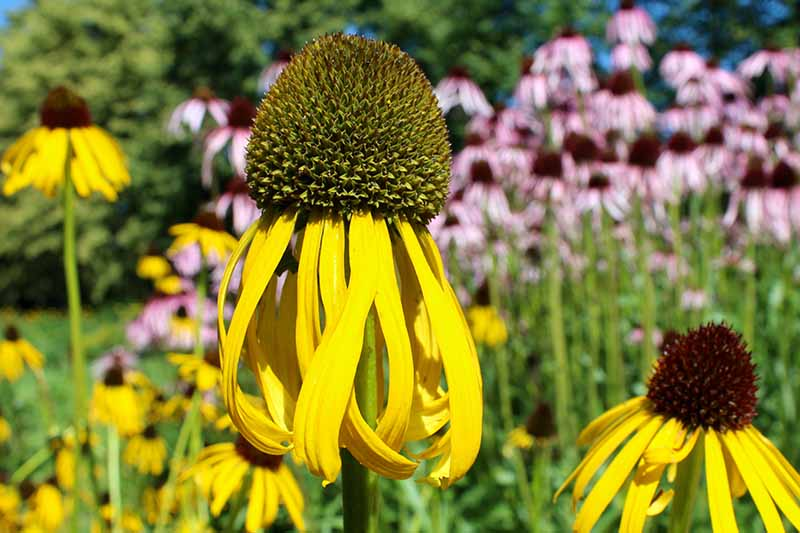 A close up horizontal image of yellow Echinacea paradoxa growing in the garden with pink coneflowers in soft focus in the background.
