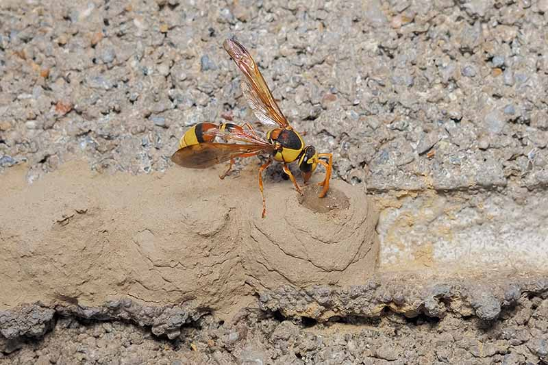 A close up horizontal image of a mud dauber wasp that appears to be engaging in pottery on the outside of a residence.