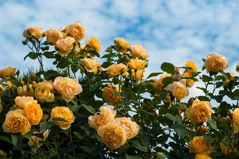 A close up horizontal image of yellow roses growing in the garden pictured on a blue sky background.