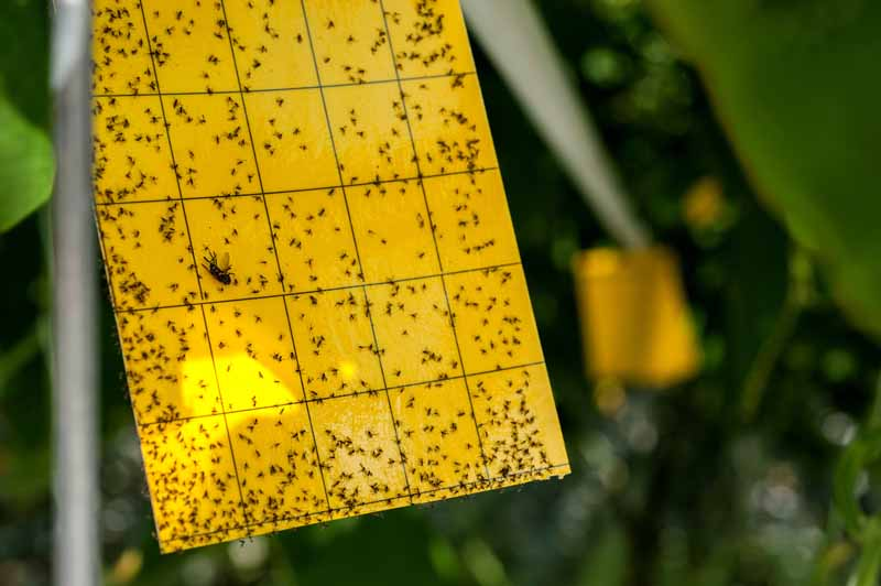 A close up horizontal image of a yellow sticky trap used to monitor insect populations in the garden or greenhouse.