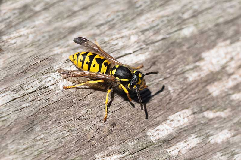 A close up horizontal image of a yellow jacket on a wooden surface pictured in bright sunshine.