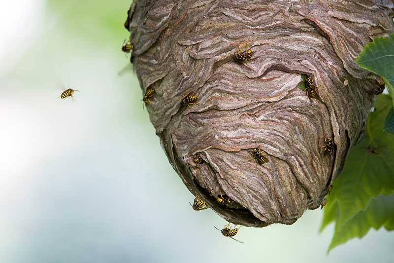 A close up horizontal image of yellow jackets buzzing around an aboveground nest.