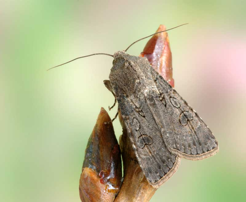 A close up horizontal image of an adult Agrotis segetum moth pictured on a soft focus background.