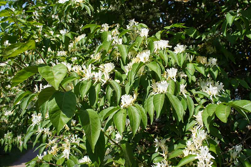 A close up horizontal image of the white flowers and green foliage of an Amur honeysuckle (Lonicera maackii) growing in the garden pictured in light sunshine on a soft focus background.