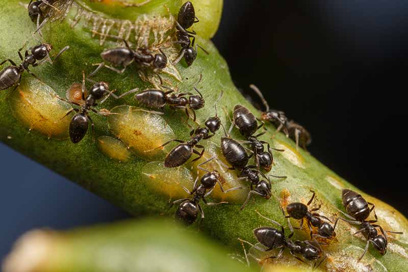 A close up horizontal image of a stem infested with scale insects and a colony of ants tending them for the honeydew, pictured on a dark soft focus background.