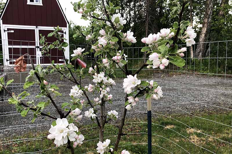 A close up horizontal image of apple blossom on a small fruit tree with a residence in the background.