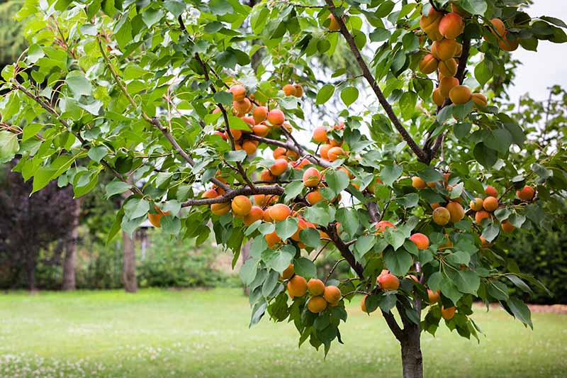 A close up horizontal image of an apricot tree laden with fruit ready for harvest with a lawn in the background.