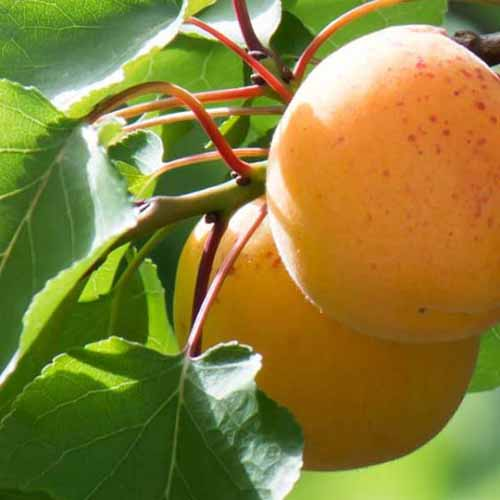 A close up square image of ripe 'Autumn Glow' apricots growing in the garden ready for harvest, pictured in light sunshine.
