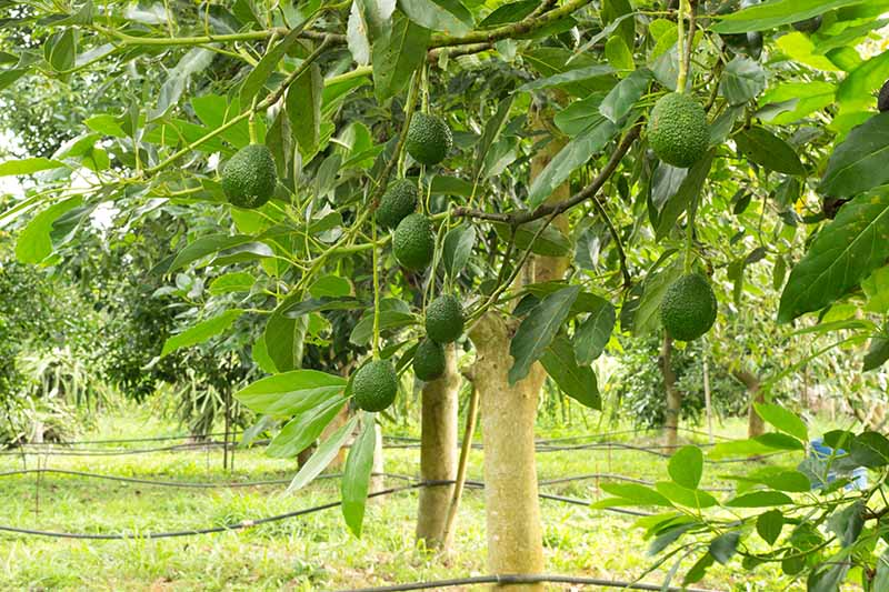A horizontal image of a row of avocado trees in a commercial orchard.