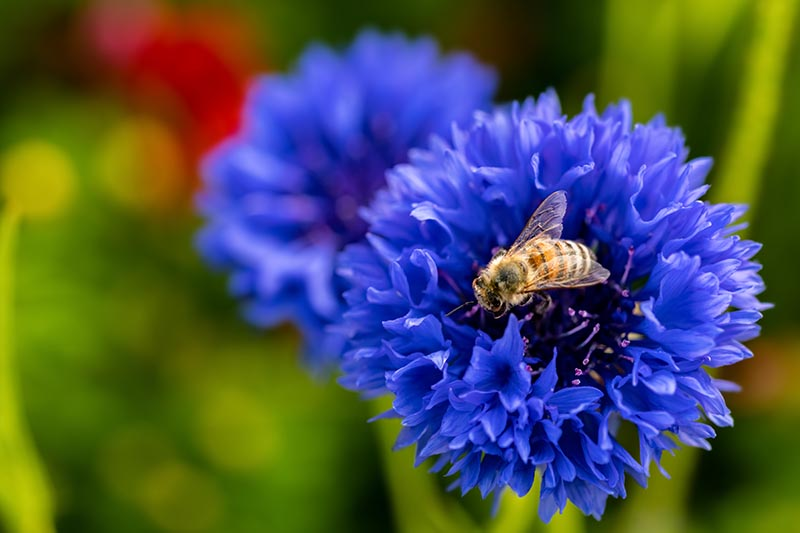 A close up horizontal image of a bright blue bachelor's button flower with a bee feeding from the center, pictured on a soft focus background.