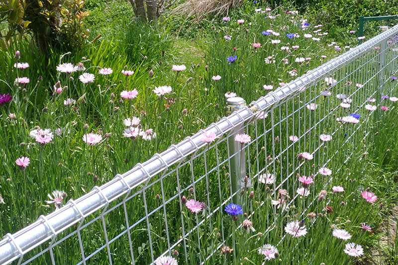 A horizontal image of pink and blue cornflowers growing in an informal style by a metal fence.