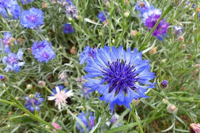 A close up horizontal image of bright blue and purple bachelor's button flowers growing in a wildflower meadow.