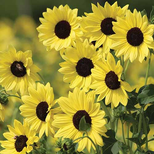 A close up square image of beach sunflowers growing in the garden pictured on a soft focus background.