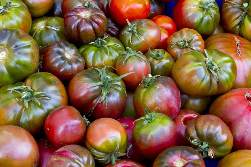 A close up horizontal image of a pile of 'Cherokee Purple' tomatoes.