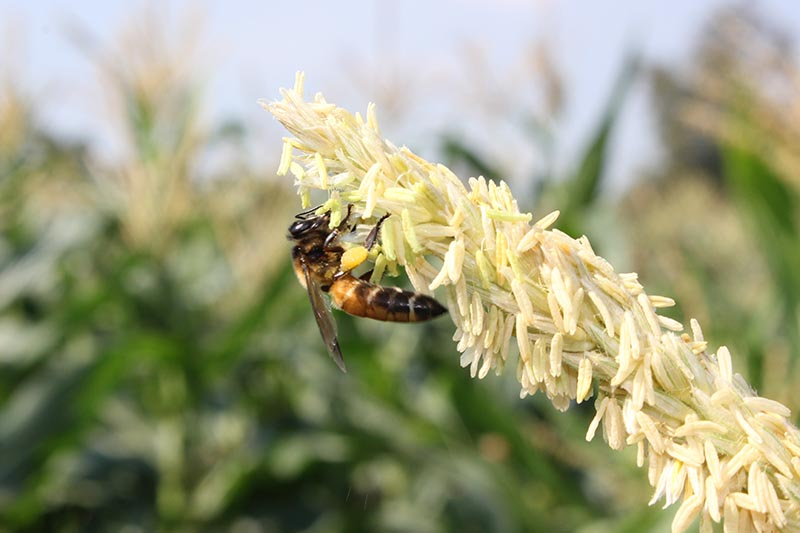 A close up horizontal image of a bee feeding on a tassel of corn pictured on a soft focus background.