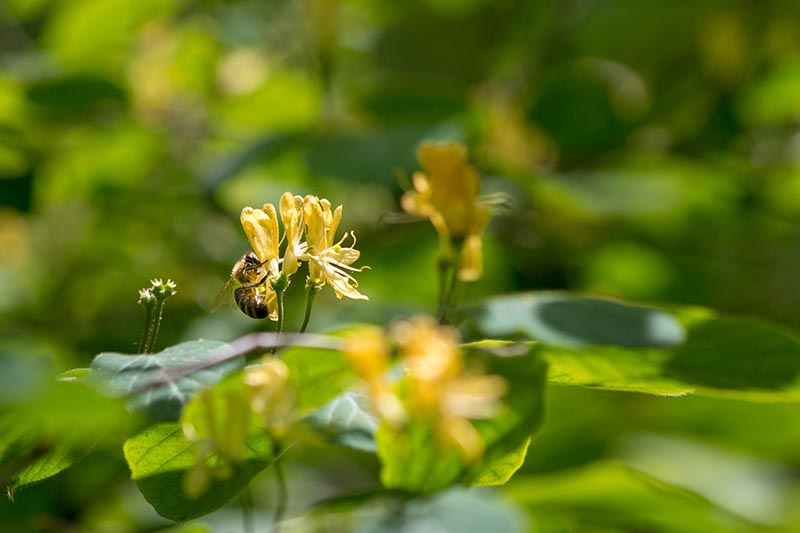 A close up horizontal image of a bee feeding on small yellow honeysuckle flowers pictured on a soft focus background.
