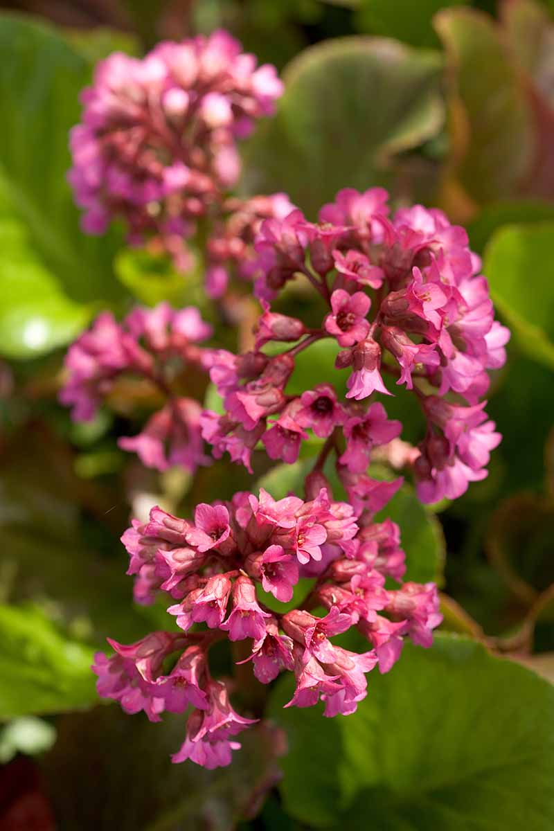 A close up vertical image of the delicate deep red flowers of Bergenia 'Ballawley' growing in the garden with foliage in soft focus in the background.