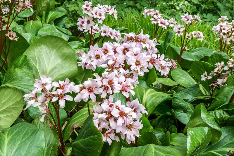 A close up horizontal image of the large heart-shaped leaves and light pink flowers of pigsqueak 'Biedermeier' growing in the garden.