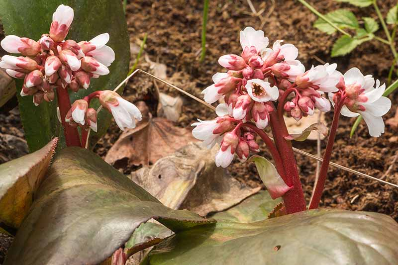 A close up horizontal image of the pale pink flowers of Bergenia 'Britten' growing in the garden.