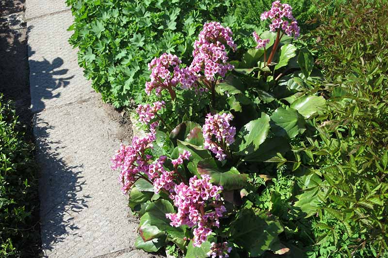 A close up horizontal image of pink Bergenia crassifolia growing in a garden border next to a concrete pathway pictured in light sunshine.