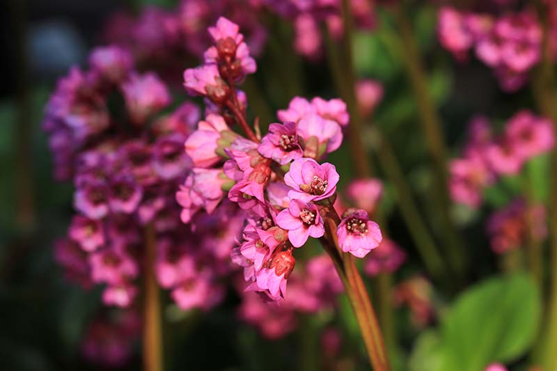 A close up horizontal image of the bright pink flowers of 'Eroica' elephant's ear growing in light sunshine in the garden.