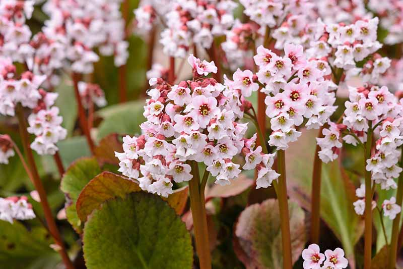 A close up horizontal image of the delicate pink flowers of heartleaf bergenia 'Frau Holle' growing in the garden.