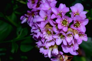 25 of the Best Bergenia Cultivars for the Garden