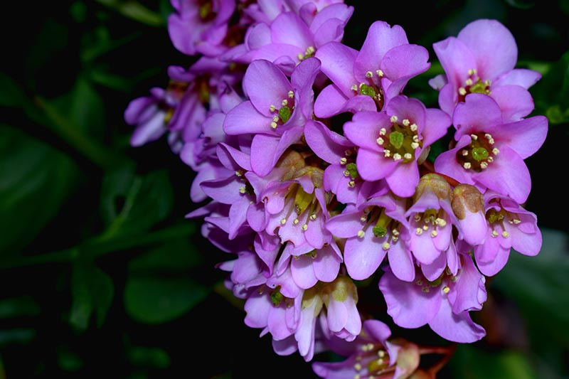 A close up horizontal image of light pink bergenia flowers growing in the garden pictured on a soft focus background.