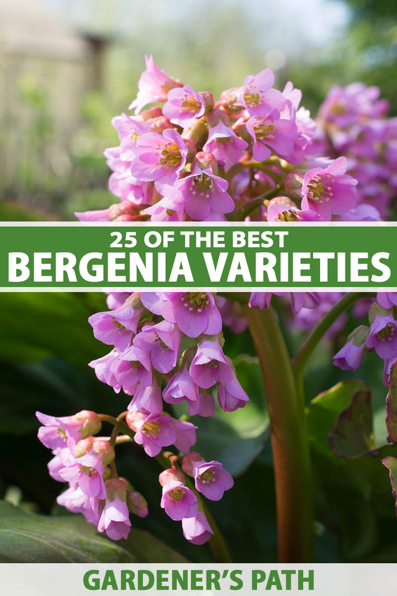 A close up vertical image of bergenia flowers growing in the garden pictured on a soft focus background. To the center and bottom of the frame is green and white printed text.