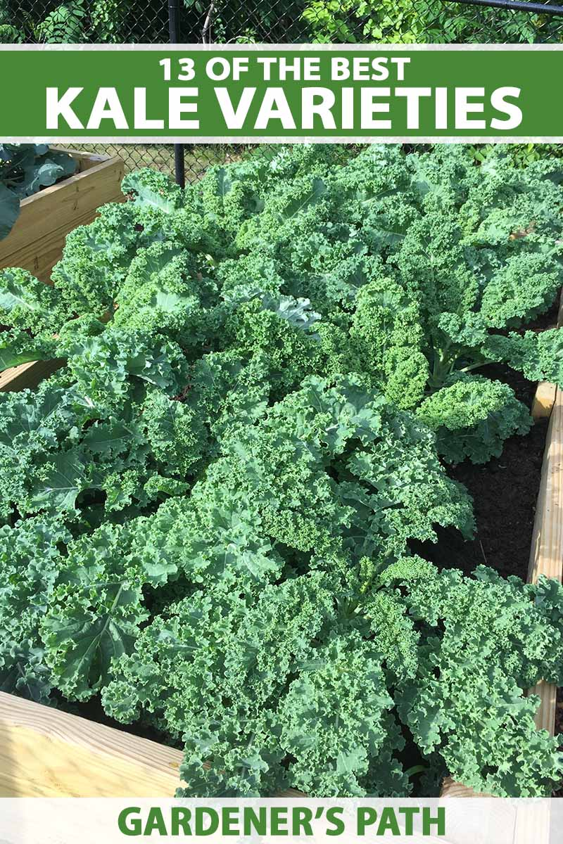 A close up vertical image of a raised garden bed planted with curly kale pictured in bright sunshine. To the top and bottom of the frame is green and white printed text.