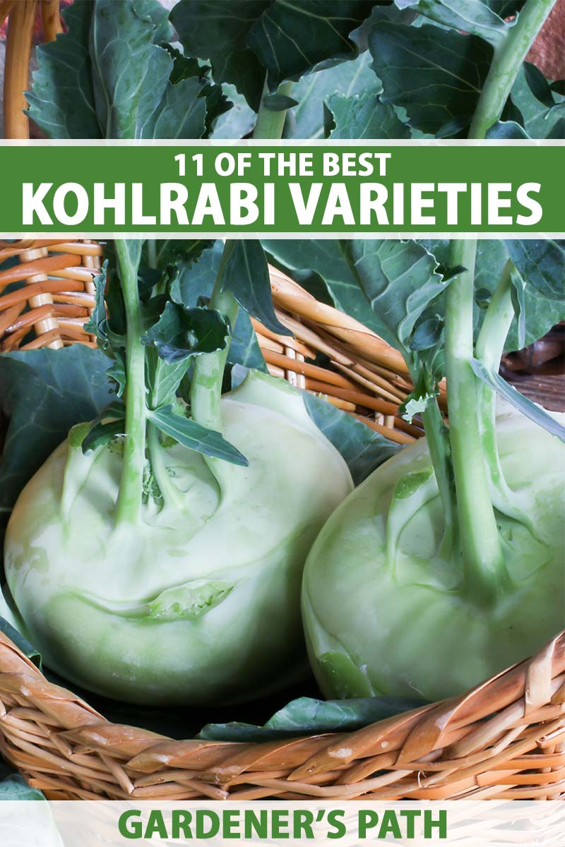 A close up vertical image of a wicker basket with freshly harvested and cleaned kohlrabi. To the top and bottom of the frame is green and white printed text.