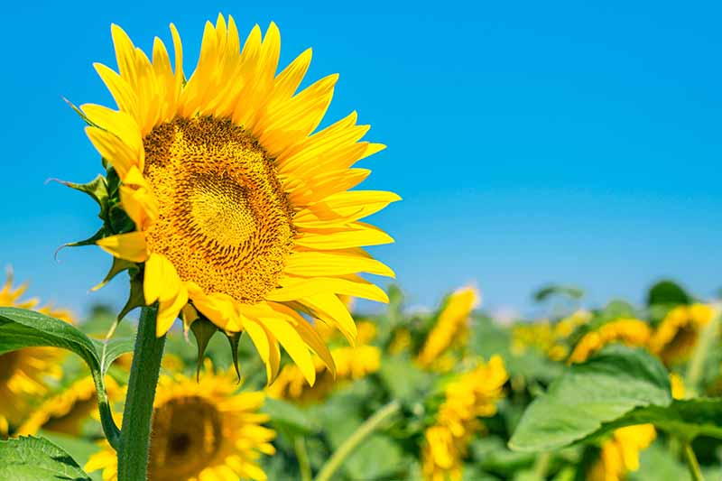 A close up horizontal image of a field of bright sunflowers pictured on a blue sky background.