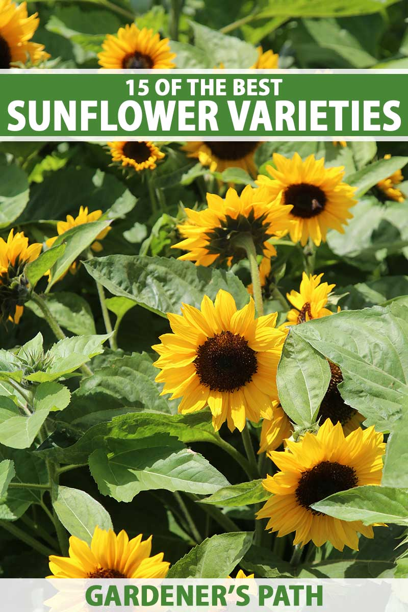 A close up vertical image of bright yellow sunflowers growing in the summer garden pictured in full sunshine. To the top and bottom of the frame is green and white printed text.