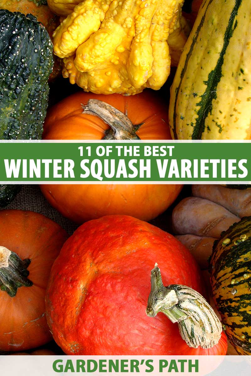 A close up vertical image of a pile of different types of winter squash. To the center and bottom of the frame is green and white printed text.
