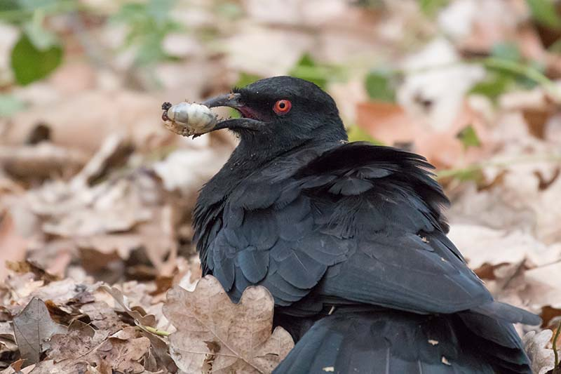 A close up horizontal image of a black bird holding a grub in its mouth with fallen leaves in soft focus in the background.