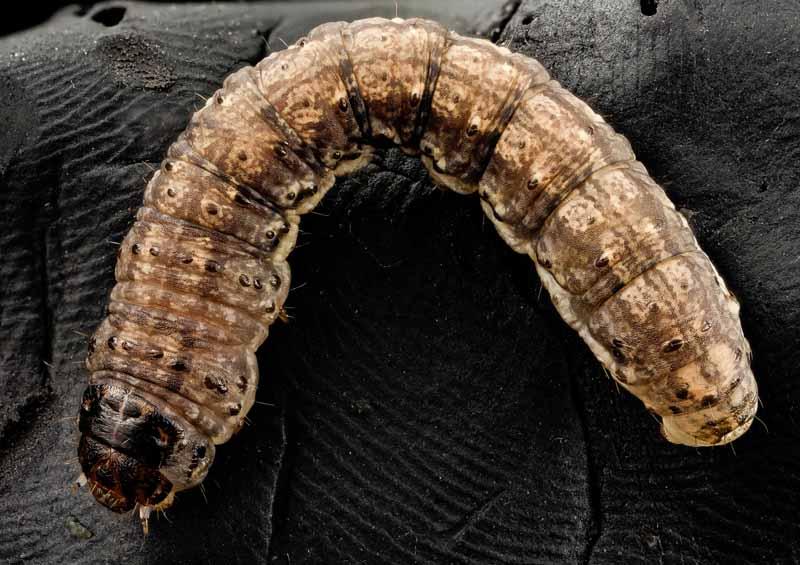 A close up horizontal image of a black cutworm catterpillar (Agrotis ipsilon) on a black background.