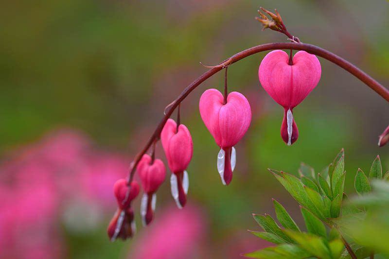 A close up horizontal image of a branch of pink bleeding heart flowers pictured on a soft focus background.