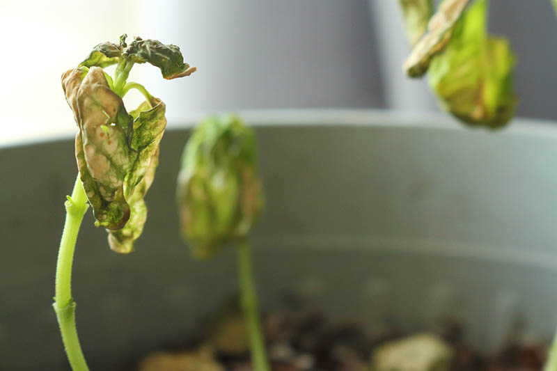 A close up horizontal image of seedlings infected with verticillium wilt in a container.