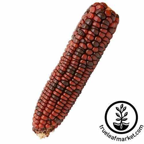 A close up square image of an ear of 'Bloody Butcher' corn isolated on a white background. To the bottom right of the frame is a black circular logo with text.