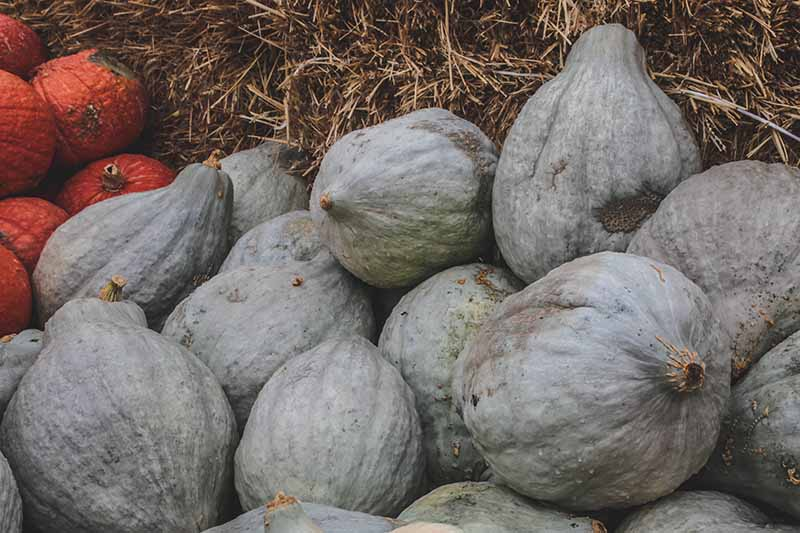A close up horizontal image of 'Blue Hubbard' squash in a pile in front of a straw bale.