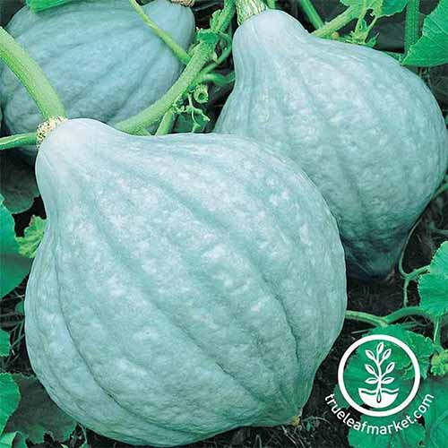 A close up square image of 'Blue Hubbard' squash growing in the garden. To the bottom right of the frame is a white circular logo with text.