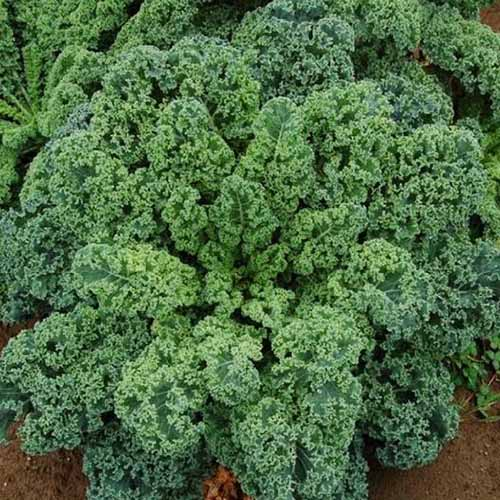 A close up square image of 'Blue Scotch Curled' kale growing in the garden.