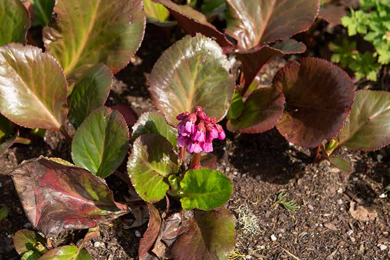 A close up horizontal image of Bergenia 'Bressingham Ruby' growing in the garden in light sunshine.