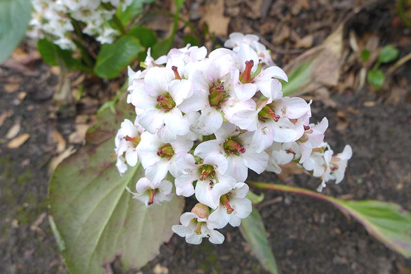 A close up horizontal image of 'Bressingham White' flowers growing in the garden pictured on a soft focus background.
