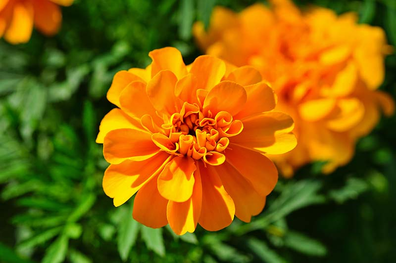 A close up horizontal image of bright orange marigold flowers growing in the garden pictured in bright sunshine with foliage in soft focus in the background.